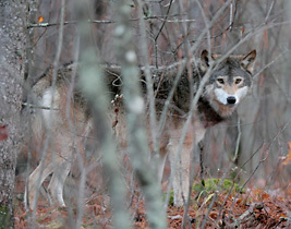 Minn. wolf hunt lawsuit gets hearing in appeals court   Cody's Current issues   Scoop.it