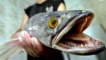 Air-breathing snakehead fish has NY environmental officials on alert - Los Angeles Times | Invasive Species | Scoop.it