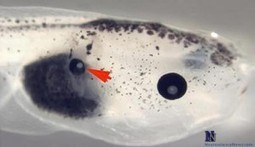 Changes in Bioelectric Signals Cause Tadpoles to Grow Eyes in Back, Tail | Science | Scoop.it