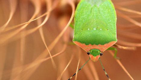 Crop pests 'vastly underestimated' warns study - SciDev.Net | Agroecology | Scoop.it