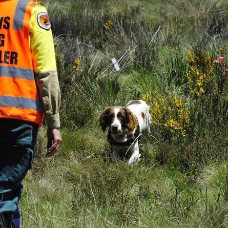 'Botanist puppies' detect weeds threatening Kosciuszko National Park | Australian Plants on the Web | Scoop.it