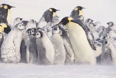 Emperor penguin huddles are more complicated than we thought | World Environment Nature News | Scoop.it