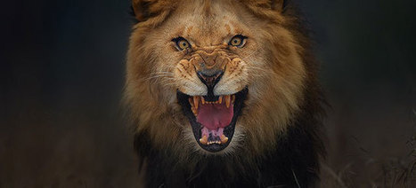 Photographer Shoots Angry Lion Pic Moments Before It Attacked Him | 16s3d: Bestioles, opinions & pétitions | Scoop.it