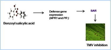 Benzoylsalicylic acid isolated from seed coats of Givotia rottleriformis induces systemic acquired resistance in tobacco and Arabidopsis   Action des stimulateurs des défenses des plantes   Scoop.it