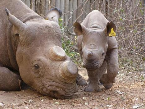 Rhino Poaching Exposing the Corruption Behind This Evil Deed | Conservation | Scoop.it
