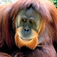 Orangutans reveal the evolutionary purpose of happiness | This Gives Me Hope | Scoop.it