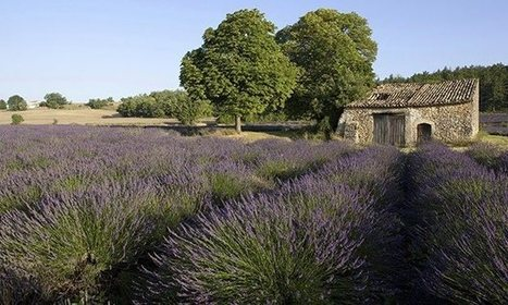 Cicadas could destroy Provence's lavender fields in 20 years | Sustain Our Earth | Scoop.it