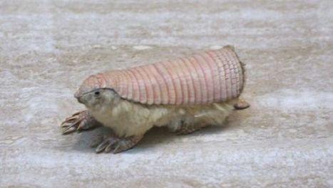 Animales raros: el pichiciego, armadillo rosado y peludo | animales | Scoop.it