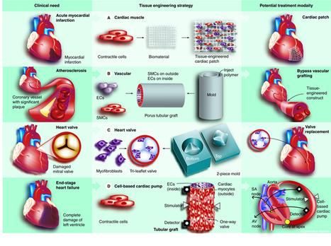 CHEN2820 / Myocardial tissue engineering | Stem Cells & Tissue Engineering | Scoop.it