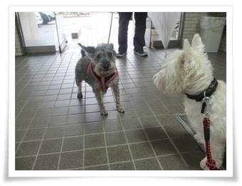 こたろうは白い犬 僕は行けないけど楽しみなWP   West Highland White Terrier   Scoop.it