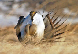 Environmentalist attempt to block oil, gas drilling in key Wyoming sage grouse ... - Casper Star-Tribune Online | Fracking | Scoop.it