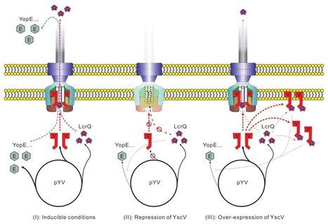 Yersinia Ysc-Yop type III secretion feedback inhibition is relieved through YscV-dependent recognition and secretion of LcrQ | Plants&Bacteria | Scoop.it