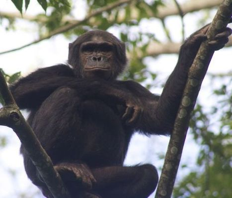 Rekindling Family Ties in Nyungwe Forest Rwanda - Monkeys and Mountains | Adventure Travel Blog | Monkeys and Apes | Scoop.it