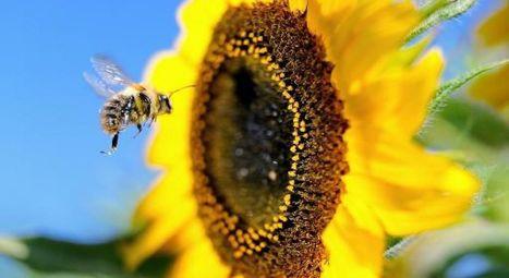 Le diesel empêche les abeilles de reconnaître le parfum des fleurs | Toxique, soyons vigilant ! | Scoop.it
