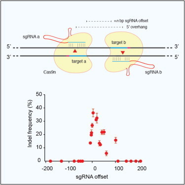 Double Nicking by RNA-Guided CRISPR Cas9 for Enhanced Genome Editing Specificity | zebrafish | Scoop.it