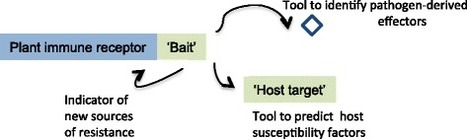 BMC Biology: Integrated decoys and effector traps: how to catch a plant pathogen (2016) | Hot topics on Science, biotechnology and plant pathology | Scoop.it