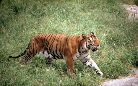 South China Tiger   Species   WWF   Year 7 Science: Endangered Species – Tigers across Asia   Scoop.it