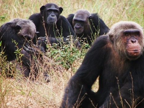 """No more raw bananas!"" Study finds chimps actually prefer flambé 