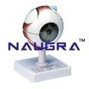Best Human Anatomy Models | Naugra Export - Human Anatomy Models Manufacturers | Scoop.it