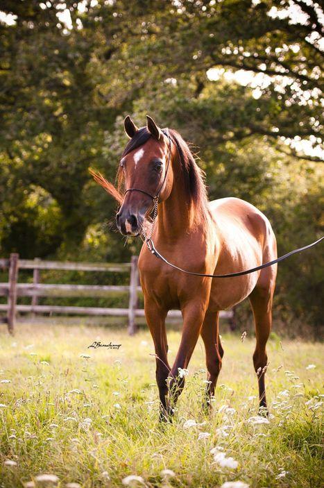 Kenelm Arabians | Arabian Horses | Scoop.it