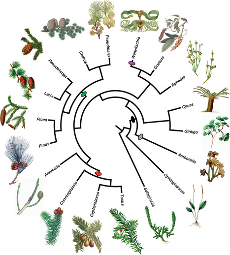 Early genome duplications in conifers and other seed plants   Plant-Microbe Interaction   Scoop.it