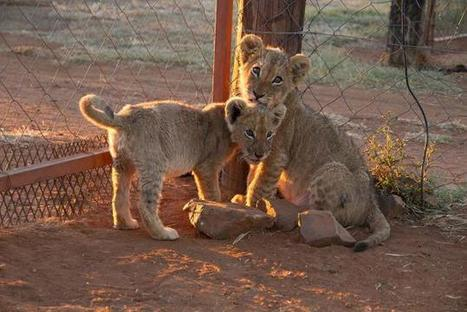 The Dark World of Canned Lion Trophy Hunting #Bloodlions   Trophy Hunting: It's Impact on Wildlife and People   Scoop.it