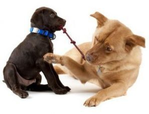 Introducing Your Puppy to an Adult Dog - What Are They Saying? | Natural Pet Care | Scoop.it