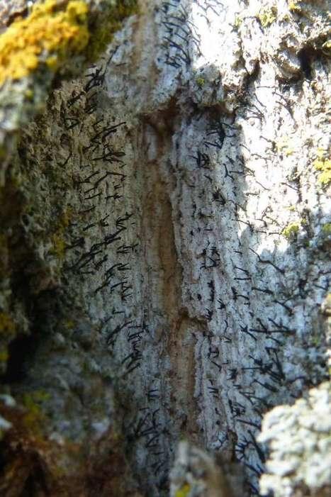 Photo de Coryneliale : Caliciopsis calicioides - Coryneliaceae - Champignon en forme de tête d'épingle sur les peupliers - Populus | Faaxaal Forum Photos gratuite Faune et Flore | Scoop.it