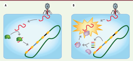 Le cas CRISPR, mutations « ready-made » et évolution lamarckienne d'un système immunitaire adaptatif | EntomoNews | Scoop.it