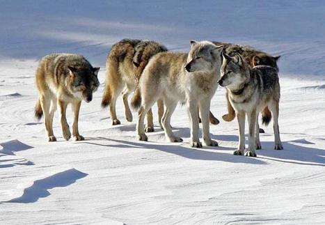 Isle Royale wolves decline; moose numbers double | #WildlifeWatch | Scoop.it