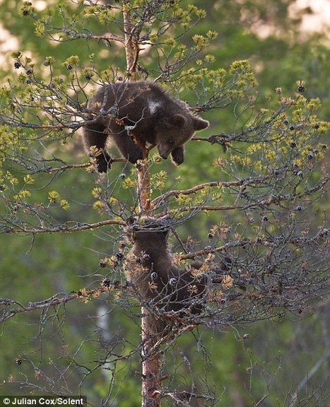 These playful bear cubs are having a tree-mendous time in the woods | Finland | Scoop.it