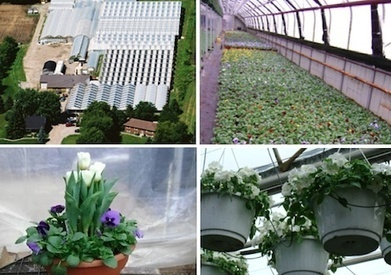 Canada: 100,000 square feet of cut flowers and potted plants at Kralt Greenhouses | Agricultural & Horticultural Industry News | Scoop.it