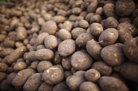 Famine No More? Wild Potato Gene Could Stop Future Blights | leapmind | Scoop.it