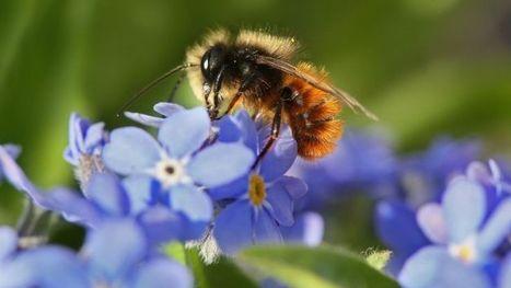 Les Etats-Unis placent les abeilles sur la liste des espèces protégées - SFR News | Chronique d'un pays où il ne se passe rien... ou presque ! | Scoop.it