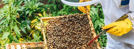 Le plan apicole durable est reconduit jusqu'à 2017 - Actu-Environnement.com | apiculture 2.0 | Scoop.it