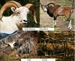 Highest altitude sheep | Agricultural Biodiversity | Scoop.it