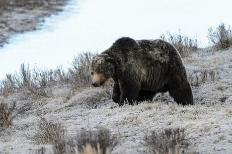 """""""Scarface,"""" The Beloved Bear Of Yellowstone Park, Has Been Killed 
