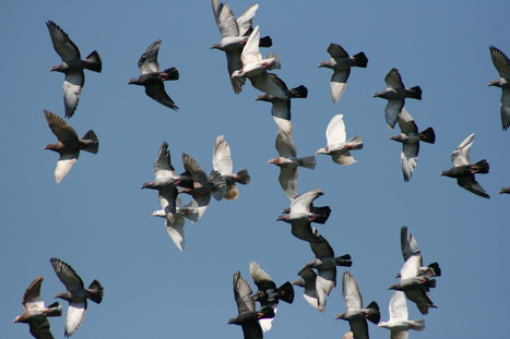 Performance-enhancing drugs crap all over the sport of pigeon racing | Digital-News on Scoop.it today | Scoop.it