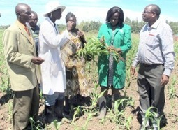 Sorghum farming key to food security | Health and Wellness | Scoop.it