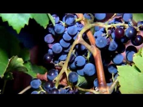 Pour un meilleur arôme, les vendanges de nuit à Cogolin-Youtube | Le vin quotidien | Scoop.it
