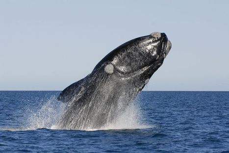 Mysterious Deaths Threaten a Population of Southern Right Whales | Sustain Our Earth | Scoop.it
