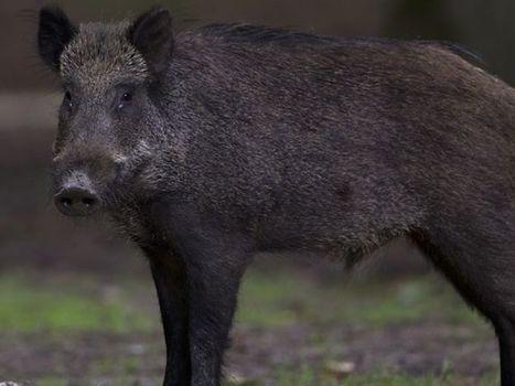 L'inquiétante prolifération de sangliers dans le Parc des calanques | Articles de chasse | Scoop.it