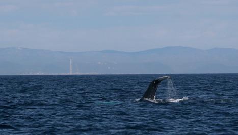 Avistada una ballena yubarta en aguas de Tarargona | Planeta Tierra | Scoop.it