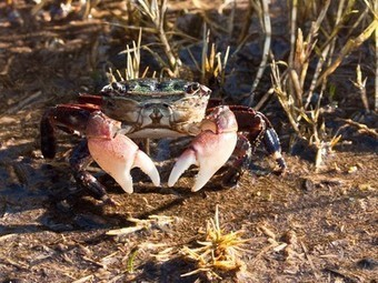 Ship noise makes it harder for crabs to eat, easier for them to be eaten | Sustain Our Earth | Scoop.it