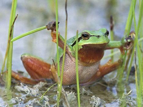 Certaines grenouilles pourraient devenir herbivores à cause du réchauffement climatique | Biodiversité & Relations Homme - Nature - Environnement : Un Scoop.it du Muséum de Toulouse | Scoop.it