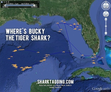 Want to name a shark and track it with Google Earth? Donate to my SciFund project! | #SciFund | Scoop.it