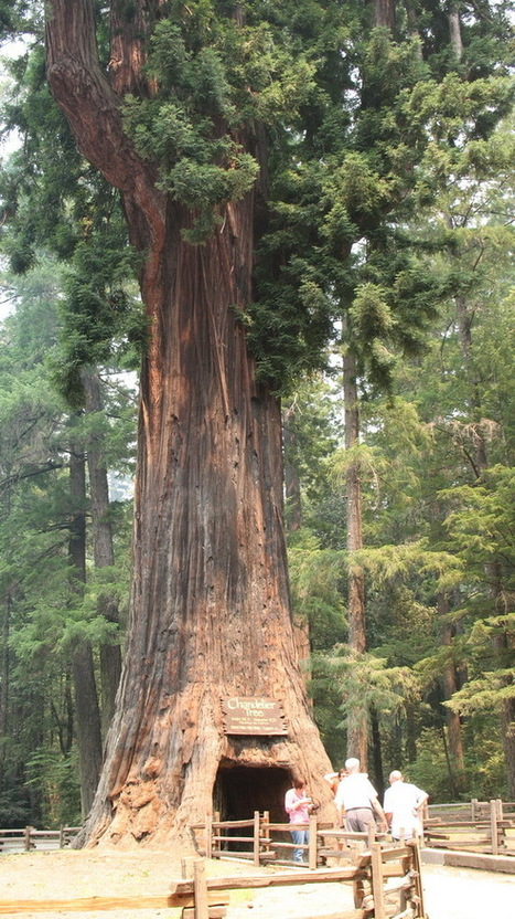 THE WORLD GEOGRAPHY: 15 Famous Living Trees | AP Human Geography | Scoop.it