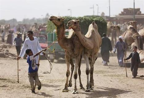 MERS or similar virus has been spreading in camels for at least a decade: study - Montreal Gazette | MERS-CoV | Scoop.it