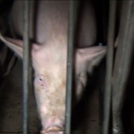 Call for tougher laws against animal activists filming farms | Surveillance Studies | Scoop.it