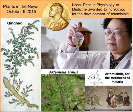 Plants in the News, October 9 2015: Artemisia annua and coral bleaching | Plant Science Today | Plant Biology Teaching Resources (Higher Education) | Scoop.it